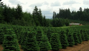 Are Christmas Trees As Environmentally Green As They Seem?